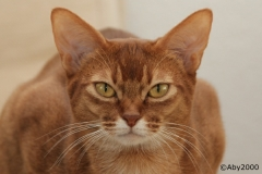 Aby2000-Abessijn-sorrel-cattery-vd-aalstreep-1